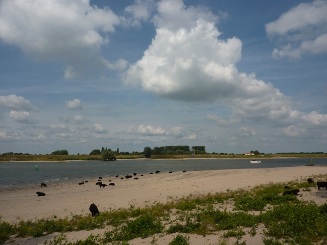 Galloway runderen op strandje in de Millingerwaard