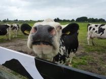 Koe bij Muiderslot
